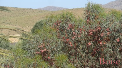 Eucalyptus en fleurs